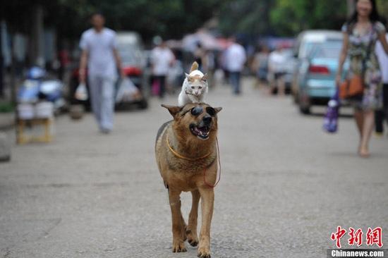 Gato e cachorro passeando pelaChina